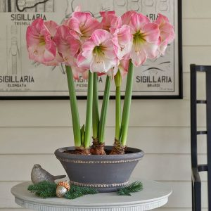 18 Amaryllis Christmas Gifts For Giving Caprice Amaryllis #Gifts #Gardening #GardeningGifts #GardenersGifts