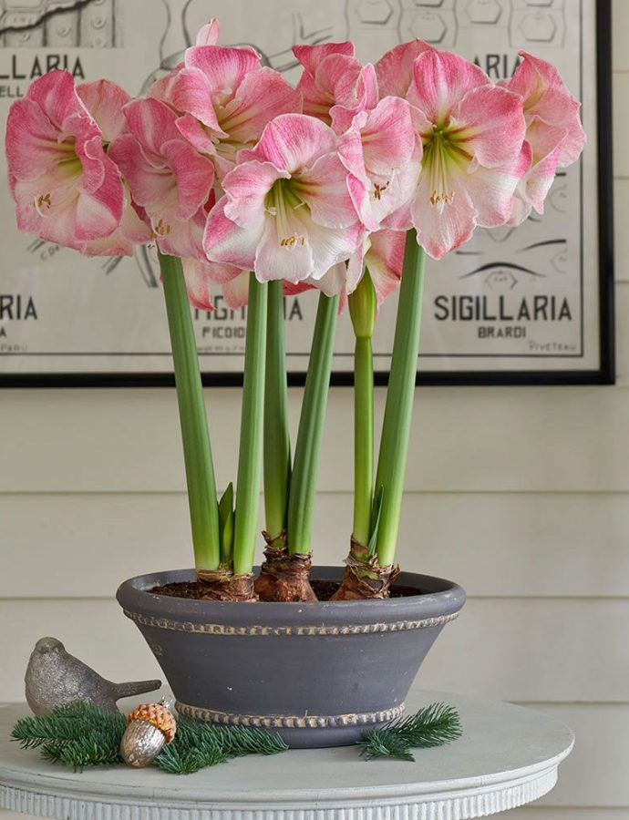 18 Amaryllis Christmas Gifts For Giving