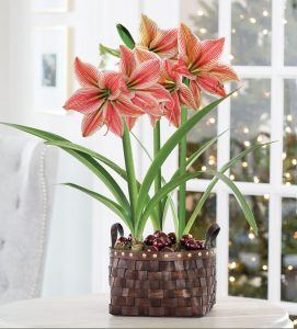 18 Amaryllis Christmas Gifts For Giving Gifts Of Gladness Amaryllis #Gifts #Gardening #GardeningGifts #GardenersGifts #GardenFlowers #Amaryllis #Christmas