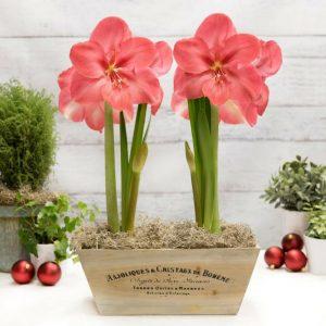 18 Amaryllis Christmas Gifts For Giving Lagoon Amaryllis In Wood Crate #Gifts #Gardening #GardeningGifts #GardenersGifts #GardenFlowers #Amaryllis #Christmas