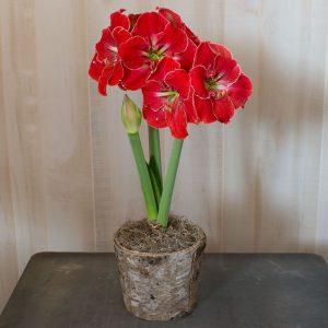 18 Amaryllis Christmas Gifts For Giving Magical Touch Amaryllis #Gifts #Gardening #GardeningGifts #GardenersGifts #GardenFlowers #Amaryllis #Christmas