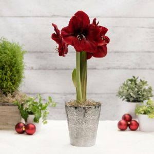 18 Amaryllis Christmas Gifts For Giving Magnum Amaryllis In Silver Ceramic Pot #Gifts #Gardening #GardeningGifts #GardenersGifts #GardenFlowers #Amaryllis #Christmas