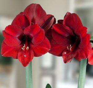 18 Amaryllis Christmas Gifts For Giving Olaf Deep Red Giant Amaryllis #Gifts #Gardening #GardeningGifts #GardenersGifts #GardenFlowers #Amaryllis #Christmas