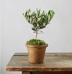 27 Best Gifts for Gardeners - Olive Tree With Woven Grass Pot #Garden #GardenTools #Gardening #Tools #YardTools #GardenEssentials #GardenPlants