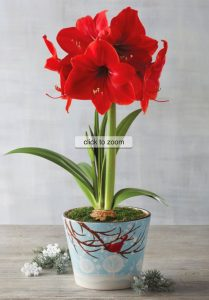 18 Amaryllis Christmas Gifts For Giving Red Lion Amaryllis #Gifts #Gardening #GardeningGifts #GardenersGifts #GardenFlowers #Amaryllis #Christmas
