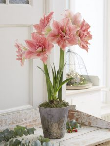 118 Amaryllis Christmas Gifts For Giving Sweet Nymph Potted Amaryllis #Gifts #Gardening #GardeningGifts #GardenersGifts #GardenFlowers #Amaryllis #Christmas
