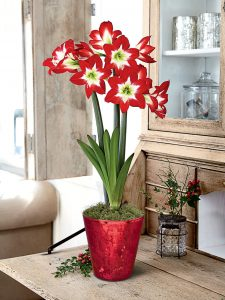 18 Amaryllis Christmas Gifts For Giving Tres Chic Potted Amaryllis Red White Green #Gifts #Gardening #GardeningGifts #GardenersGifts #GardenFlowers #Amaryllis #Christmas