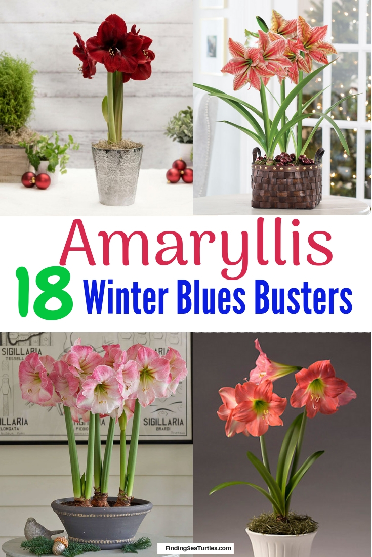 18 Amaryllis Christmas Gifts For Giving Amaryllis 18 Winter Blues Busters #Amaryllis #Christmas #ChristmasDecor #ChristmasGifts #Centerpiece