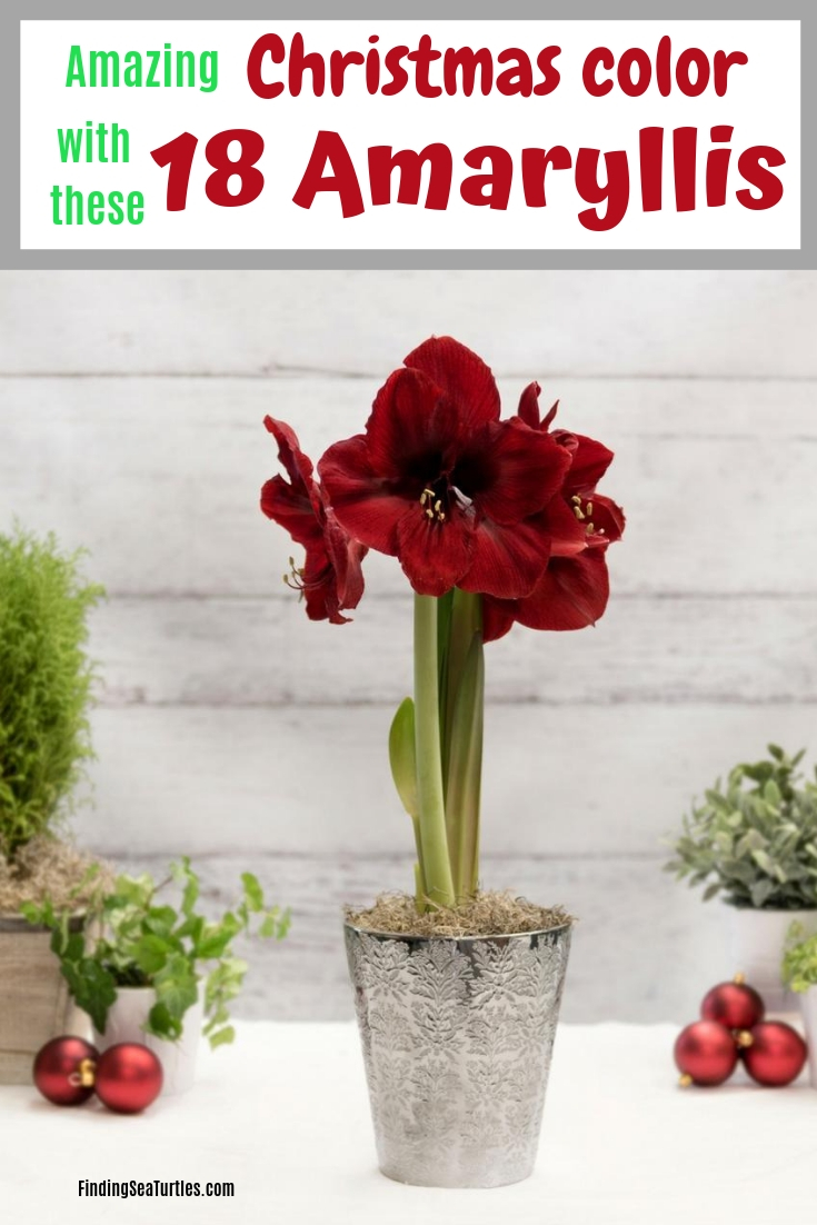 18 Amaryllis Christmas Gifts For Giving Amazing Christmas Color With These 18 Amaryllis #Christmas #ChristmasDecor #ChristmasFlowers #ChristmasDecor #Amaryllis #DIY #QuickandEasy