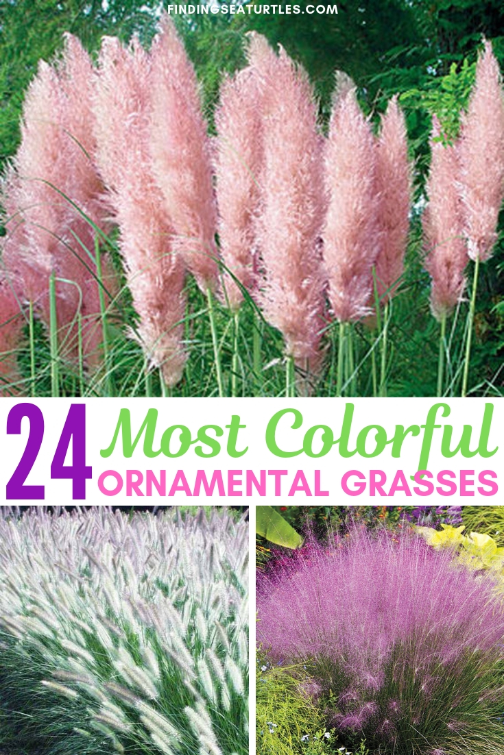 24 Most Colorful Ornamental Grasses #Grasses #OrnamentalGrasses #Perennials #Garden #Gardening #Landscape