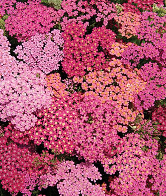 28 Best Perennials for a Cutting Flower Garden Achillea Cherries Jubilee #CutFlowers #Garden #Gardening #Spring #SpringGardening #CuttingGarden