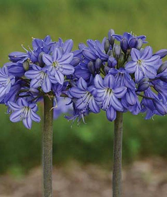 28 Best Perennials for a Cutting Flower Garden Agapanthus Galaxy Blue #CutFlowers #Garden #Gardening #Spring #SpringGardening #CuttingGarden