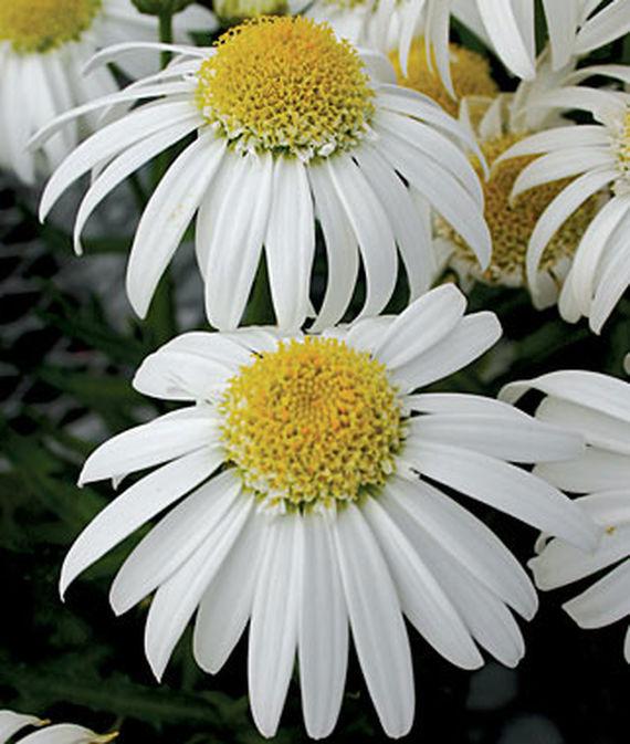 28 Best Perennials for a Cutting Flower Garden Alaska Shasta Daisy #CutFlowers #Garden #Gardening #Spring #SpringGardening #CuttingGarden