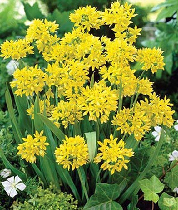 28 Best Perennials for a Cutting Flower Garden Alliums Moly #CutFlowers #Garden #Gardening #GardenSeeds #Seeds #Spring #SpringGardening #CuttingGarden