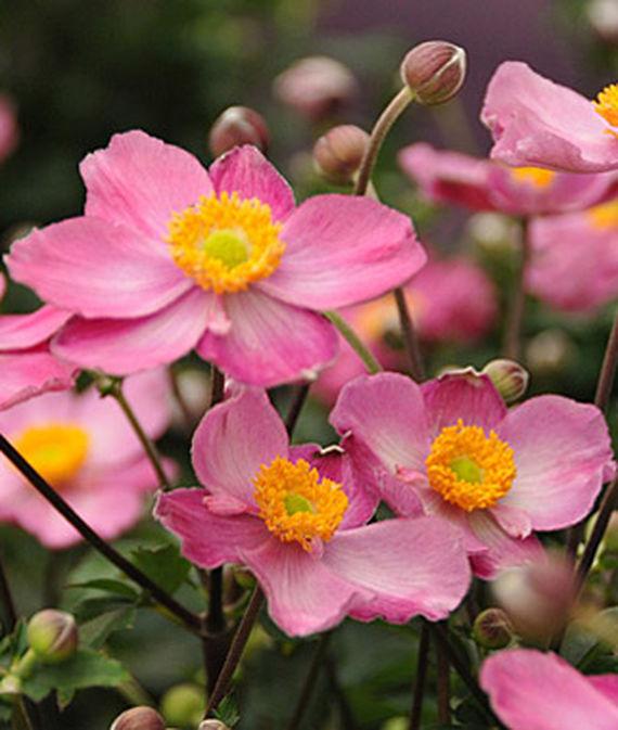 28 Best Perennials for a Cutting Flower Garden Anemone Fantasy Cinderella #CutFlowers #Garden #Gardening #Spring #SpringGardening #CuttingGarden