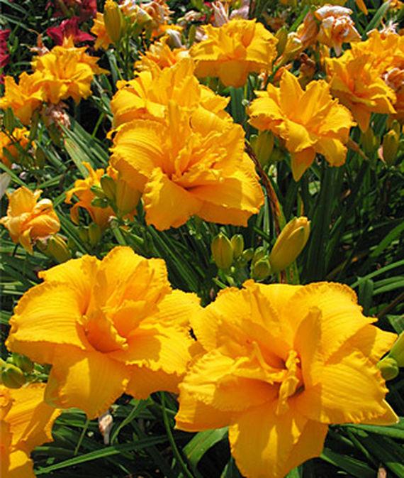 28 Best Perennials for a Cutting Flower Garden Condilla Daylily #CutFlowers #Garden #Gardening #Spring #SpringGardening #CuttingGarden