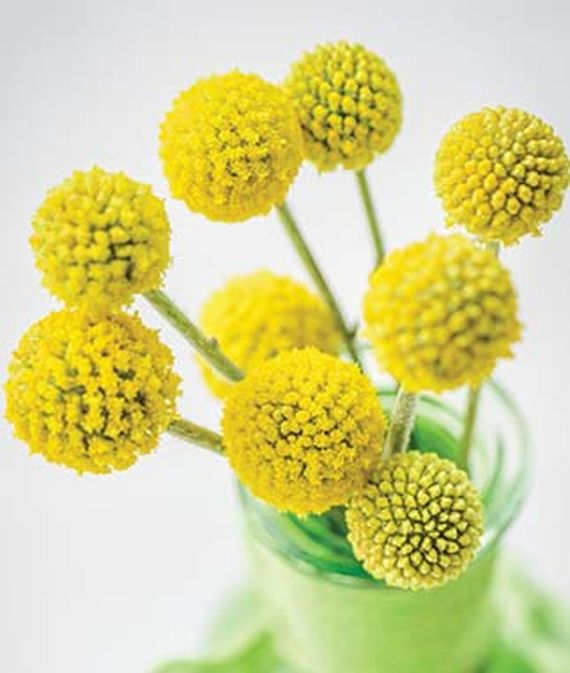 9 Cut Flowers to Grow From Seed Craspedia Drumstick #CutFlowers #Garden #Gardening #Summer #SummerGardening #CuttingGarden #Annuals #FlowerSeeds