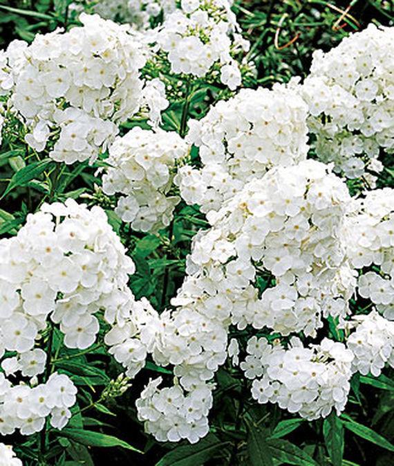 28 Best Perennials for a Cutting Flower Garden David Phlox #CutFlowers #Garden #Gardening #Spring #SpringGardening #CuttingGarden