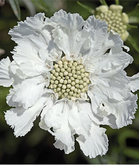 28 Best Perennials for a Cutting Flower Garden Fama White Scabiosa #CutFlowers #Garden #Gardening #Spring #SpringGardening #CuttingGarden