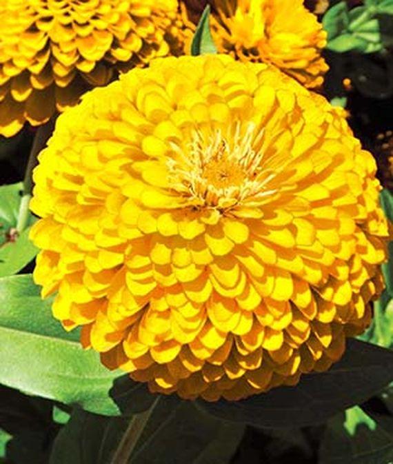 9 Cut Flowers to Grow From Seed Gold Treasure Zinnia #CutFlowers #Garden #Gardening #Summer #SummerGardening #CuttingGarden #Annuals #FlowerSeeds