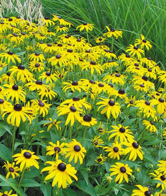 28 Best Perennials for a Cutting Flower Garden Goldsturm Rudbeckia #CutFlowers #Garden #Gardening #Spring #SpringGardening #CuttingGarden