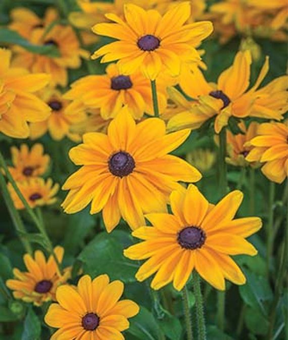 9 Cut Flowers to Grow From Seed - Indian Summer Rudbeckia #CutFlowers #Garden #Gardening #Summer #SummerGardening #CuttingGarden #Annuals #FlowerSeeds