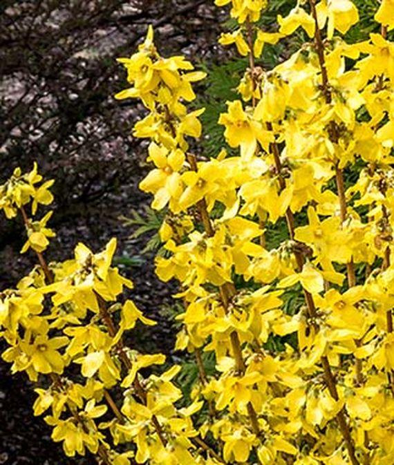 28 Best Perennials for a Cutting Flower Garden Magical Gold Forsythia #CutFlowers #Garden #Gardening #Spring #SpringGardening #CuttingGarden
