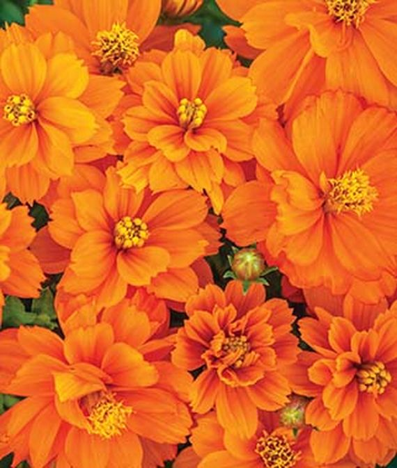 9 Cut Flowers to Grow From Seed Mandarin Orange Cosmos #CutFlowers #Garden #Gardening #Summer #SummerGardening #CuttingGarden #Annuals #FlowerSeeds
