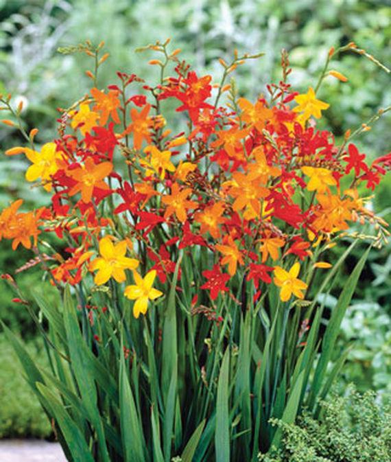 28 Best Perennials for a Cutting Flower Garden Mixed Crocosmia #CutFlowers #Garden #Gardening #Spring #SpringGardening #CuttingGarden