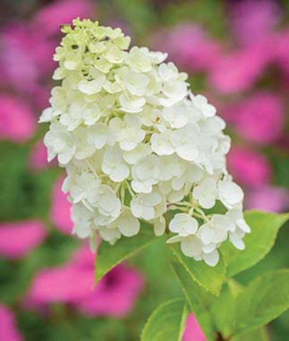 28 Best Perennials for a Cutting Flower Garden Moonrock Hydrangea #CutFlowers #Garden #Gardening #Spring #SpringGardening #CuttingGarden