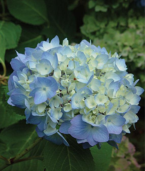 28 Best Perennials for a Cutting Flower Garden Nikko Blue Hydrangea #CutFlowers #Garden #Gardening #Spring #SpringGardening #CuttingGarden