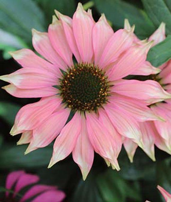 28 Best Perennials for a Cutting Flower Garden Playful Meadow Mama Echinacea #CutFlowers #Garden #Gardening #Spring #SpringGardening #CuttingGarden
