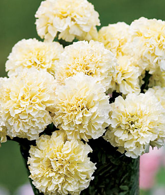 9 Cut Flowers to Grow From Seed Snowman Marigold #CutFlowers #Garden #Gardening #Summer #SummerGardening #CuttingGarden #Annuals #FlowerSeeds
