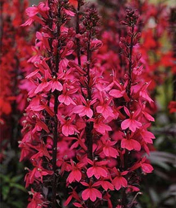 28 Best Perennials for a Cutting Flower Garden Starship Deep Rose Lobelia #CutFlowers #Garden #Gardening #Spring #SpringGardening #CuttingGarden