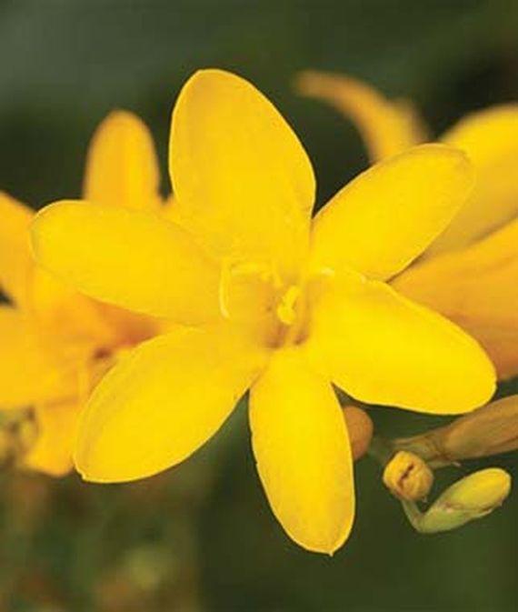 28 Best Perennials for a Cutting Flower Garden Tai Pan Crocosmia #CutFlowers #Garden #Gardening #Spring #SpringGardening #CuttingGarden