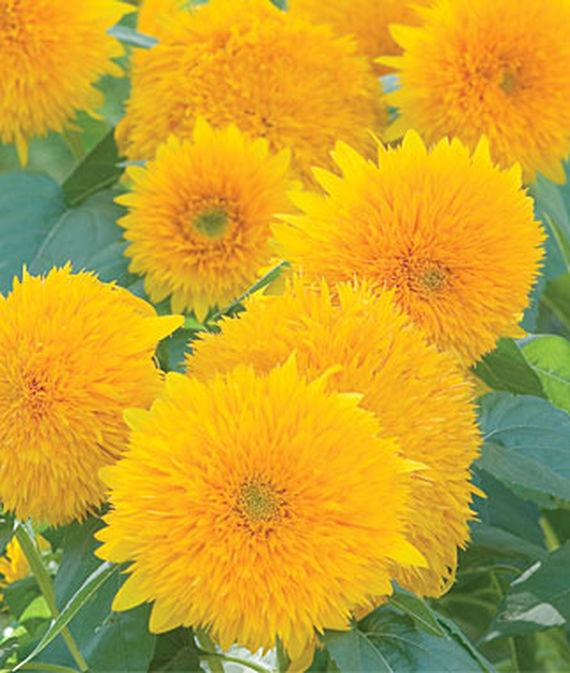 9 Cut Flowers to Grow From Seed Teddy Bear Sunflower #CutFlowers #Garden #Gardening #Summer #SummerGardening #CuttingGarden #Annuals #FlowerSeeds