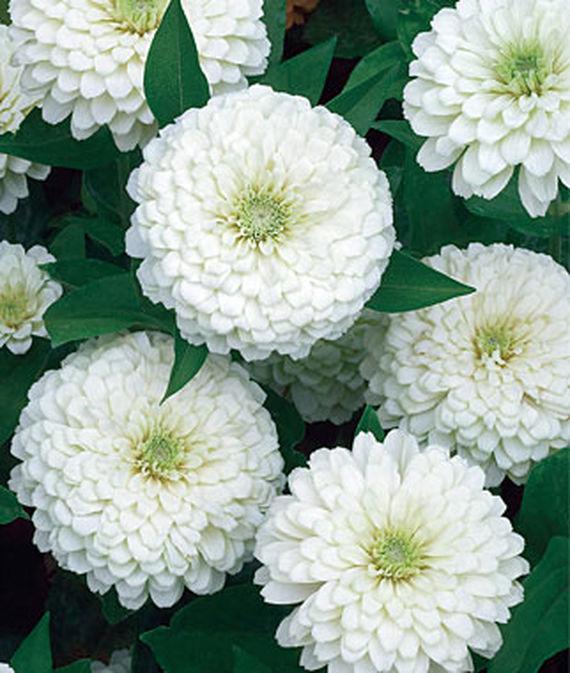 9 Cut Flowers to Grow From Seed White Wedding Zinnia #CutFlowers #Garden #Gardening #Summer #SummerGardening #CuttingGarden #Annuals #FlowerSeeds