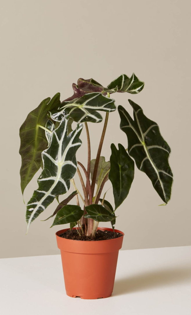 29 Easy Houseplants to Beat the Winter Blues!` Alocasia Polly #HousePlants #EasytoGrow #Gardening #LowMaintenance #HomeDecor #IndoorPlants #DIY