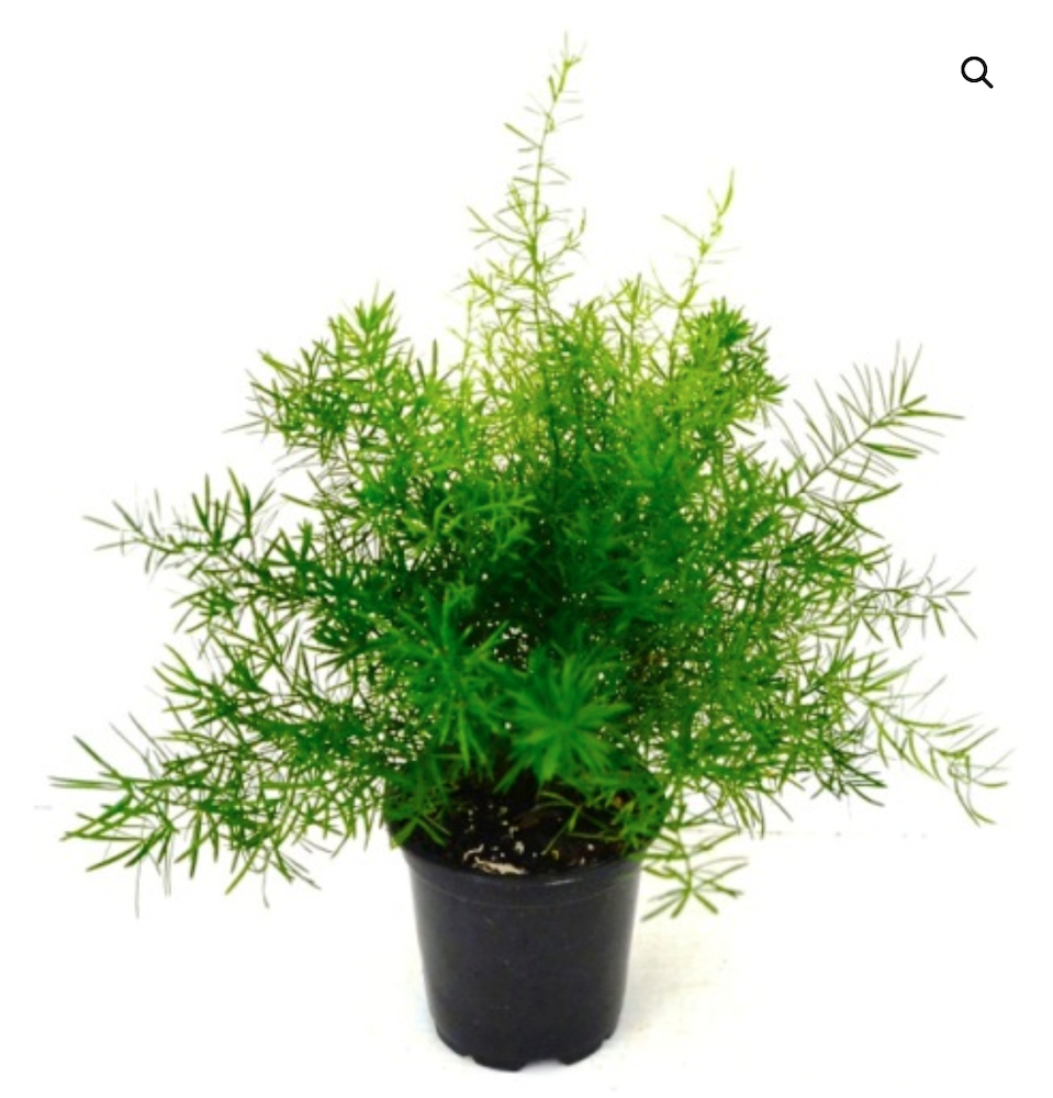 29 Easy Houseplants to Beat the Winter Blues! Asparagus Fern #HousePlants #EasytoGrow #Gardening #LowMaintenance #HomeDecor #IndoorPlants #DIY