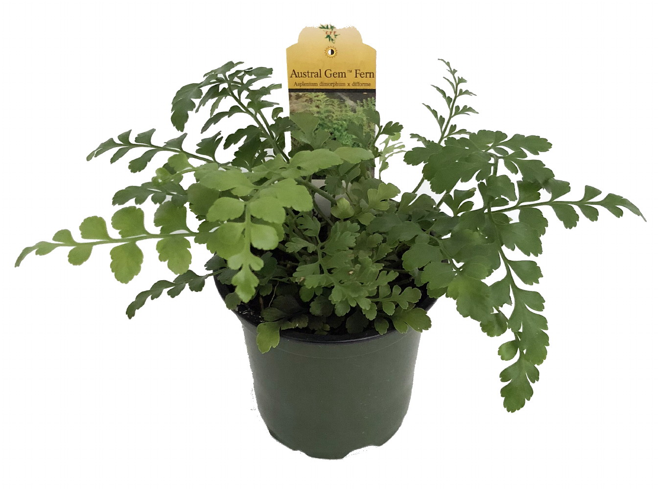 29 Easy Houseplants to Beat the Winter Blues! Austral Gem Fern Asplenium Dimorphum #HousePlants #EasytoGrow #Gardening #LowMaintenance #HomeDecor #IndoorPlants #DIY
