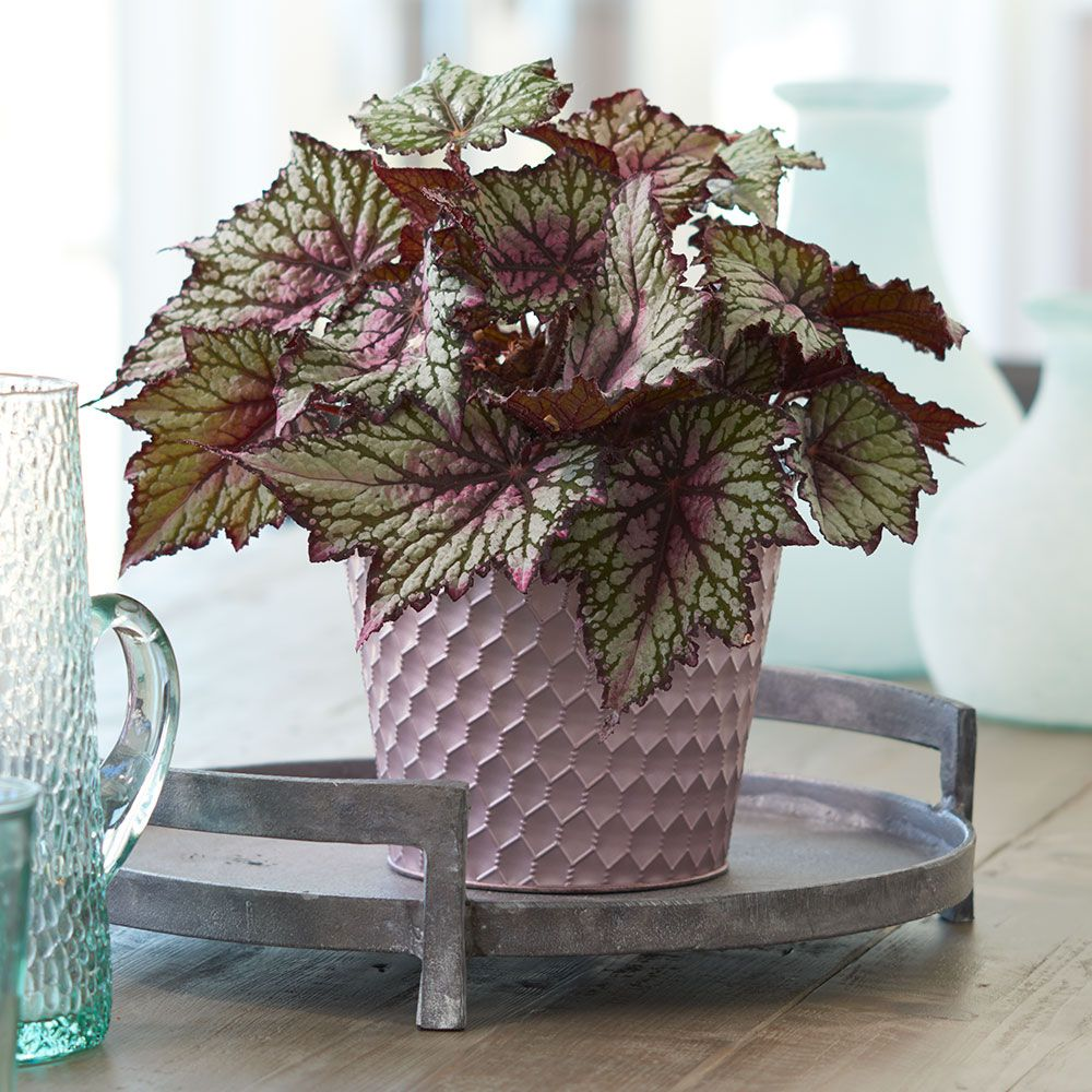 29 Easy Houseplants to Beat the Winter Blues! Begonia Rex Jurassic Green Streak #HousePlants #EasytoGrow #Gardening #LowMaintenance #HomeDecor #IndoorPlants #DIY