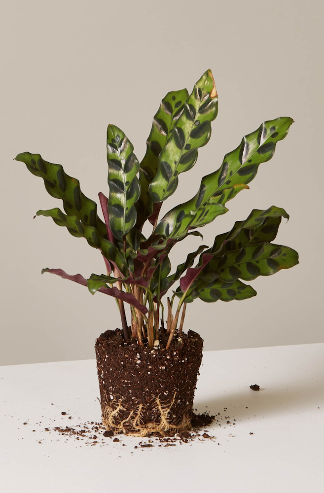 29 Easy Houseplants to Beat the Winter Blues! Calathea Rattlesnake #HousePlants #EasytoGrow #Gardening #LowMaintenance #HomeDecor #IndoorPlants #DIY