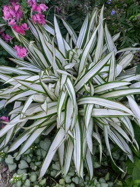 24 Best Ornamental Grasses Carex Snow Cap #Grasses #OrnamentalGrasses #Perennials #Garden #Gardening #Landscape