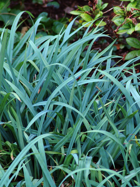 24 Best Ornamental Grasses Carex Flaccosperma #Grasses #OrnamentalGrasses #Perennials #Garden #Gardening #Landscape