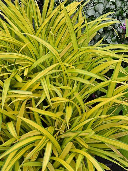 24 Best Ornamental Grasses Carex Siderosticha Banana Boat #Grasses #OrnamentalGrasses #Perennials #Garden #Gardening #Landscape