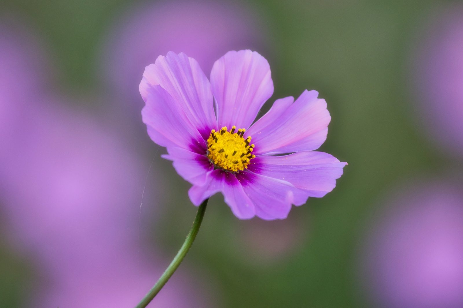 Boston Flower Show 2019: The Beauty of Balance Cosmos #BostonFlowerShow #BostonFlowerGardenShow #Spring #SpringTime #SpringFlowers #Boston