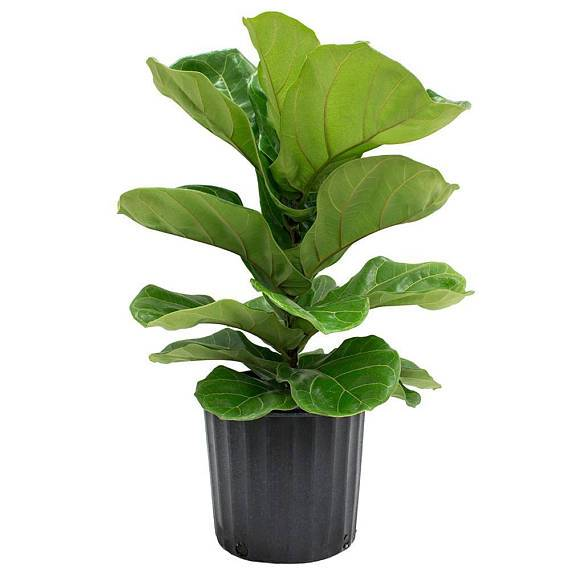 29 Easy Houseplants to Beat the Winter Blues! Fiddle Leaf Fig Tree or Ficus Lyrata #HousePlants #EasytoGrow #Gardening #LowMaintenance #HomeDecor #IndoorPlants #DIY