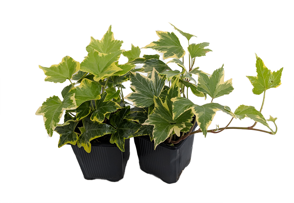 29 Easy Houseplants to Beat the Winter Blues! Gold Child English Ivy #HousePlants #EasytoGrow #Gardening #LowMaintenance #HomeDecor #IndoorPlants #DIY