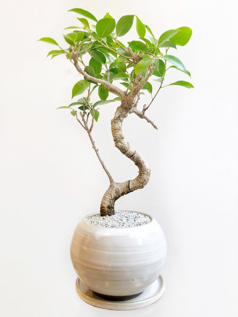 29 Easy Houseplants to Beat the Winter Blues! Hal Chinese Banyan #HousePlants #EasytoGrow #Gardening #LowMaintenance #HomeDecor #IndoorPlants #DIY