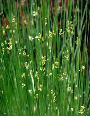 24 Best Ornamental Grasses Juncus Effusus #Grasses #OrnamentalGrasses #Perennials #Garden #Gardening #Landscape